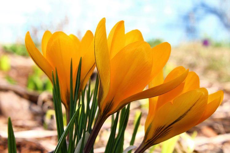 Close-up of orange crocus flower against sky
