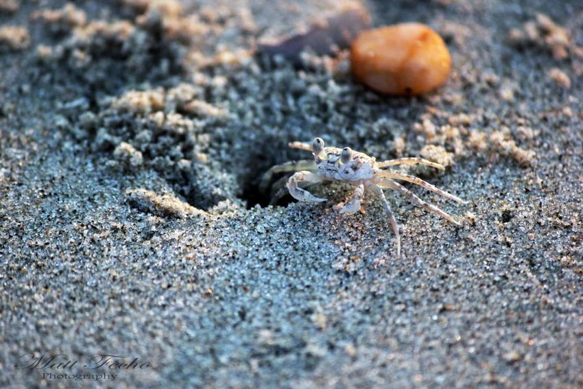 Mr. Krabby One Animal Animals In The Wild Animal Themes Beach Animal Wildlife Sand No People Nature Day Close-up Outdoors Sea Reptile Sea Life UnderSea