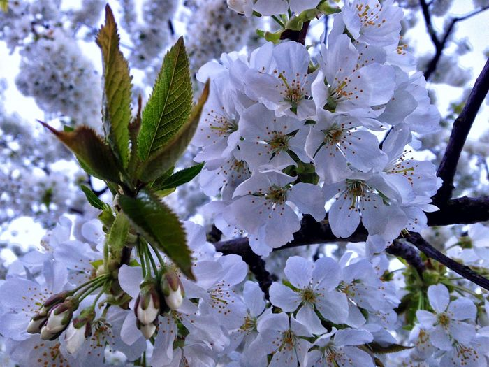 Beauty In Nature Blossom Botany Branch Cherry Blossom Cherry Tree Close-up Day Flower Flower Head Flowering Plant Fragility Freshness Growth Inflorescence Nature No People Outdoors Petal Plant Pollen Springtime Tree Vulnerability  White Color