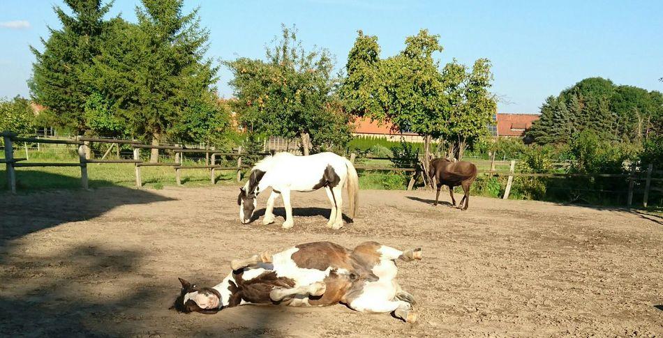 Das Leben kann soo schön sein! Horses Horse Photography  Horselove Horselife Horses Animal Themes Pferdebilder Pferdestall Pferde Life Domestic Animals Tree Livestock Mammal Shadow Sunlight Animal Tranquility