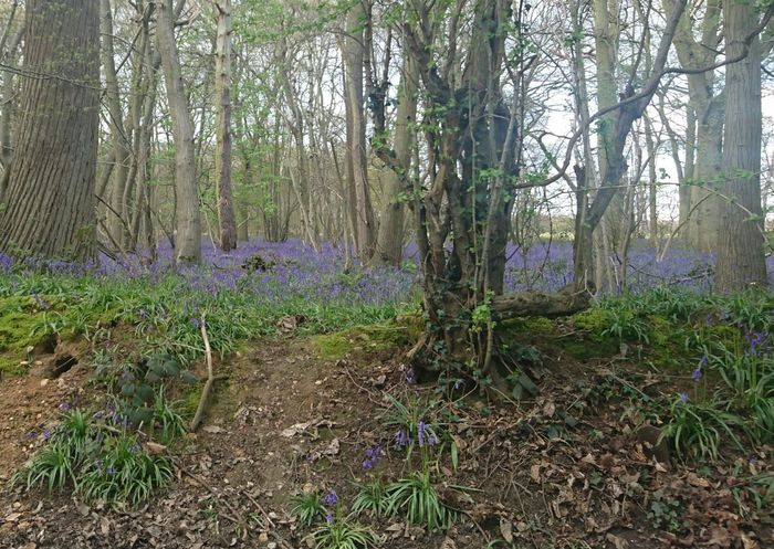 Bells Blue Braintree Essex Growth Nature Outdoors Purple ♥ Remote Stisted Tranquility Tree WoodLand