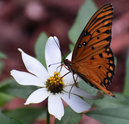 Orange butterfly on a white flower Butterfly, Butterfly On A Flower, Animal Themes Animals In The Wild Beauty In Nature Butterfly Butterfly - Insect Close-up Day Flower Flower Head Fragility Freshness Insect Nature No People One Animal Outdoors Petal Pollination Spread Wings