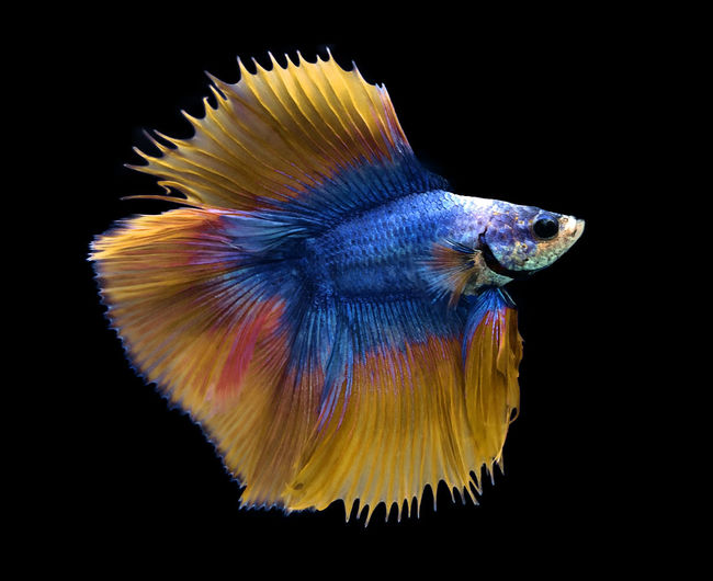 Blue and yellow Siamese fighting fish isolated on blue background. Fish Aquarium Nature Siamese Animal Beautiful Betta  Aquatic Tail Motion Tropical Pet Colorful Aggressive Beauty Background Color Luxury Black Water Domestic Yellow Splendens Dragon Exotic Dress Fancy Fighting Swimming FIN Power Moon Fight Half Action Abstract Thailand Scale  Closeup Moving Thai Biology Movement Metallic Face Art Yellow Pla-kad Gold Blue