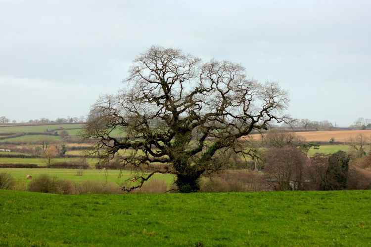 lone oak tree in english countryside Agriculture Beauty In Nature Branch Day Field Flower Fragility Freshness Grass Growth Landscape Nature No People Outdoors Rural Scene Scenics Sky Tranquil Scene Tranquility Tree