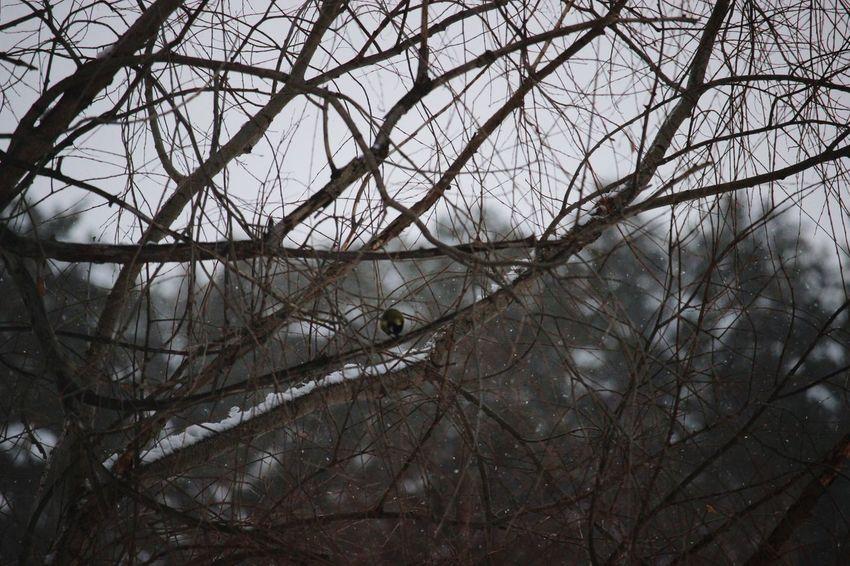 Snow Tree Titmouse