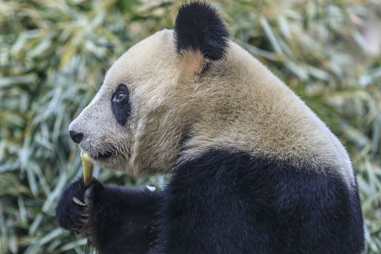 Giant panda consuming its favorite food, bamboo. Animal Themes One Animal Animal Wildlife Animal Animals In The Wild Mammal Bear Panda - Animal Giant Panda Vertebrate No People Day Nature Looking Focus On Foreground Zoology Looking Away Plant Close-up Zoo Outdoors Bamboo - Plant Animal Head  Herbivorous China