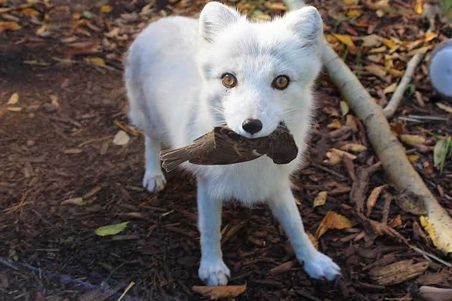 Animal Animals In The Wild Fox Holding Bird Looking At Camera One Animal Portrait Standing White Fox