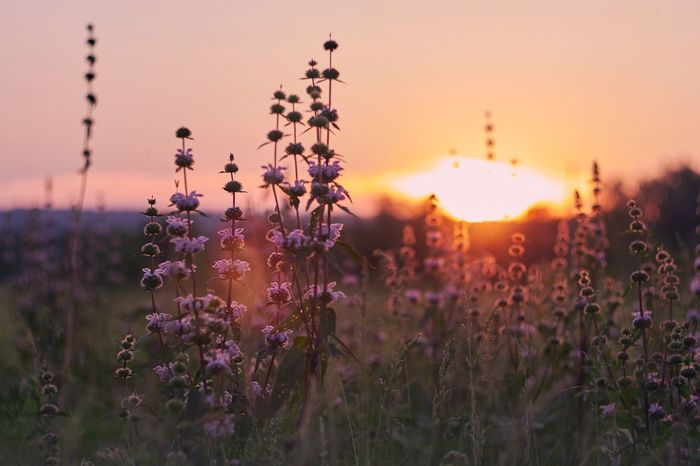 Flower Sunset Nature Growth Beauty In Nature Plant Field Purple No People Outdoors Helios44 Siberia Canon Countryside Evening Sky