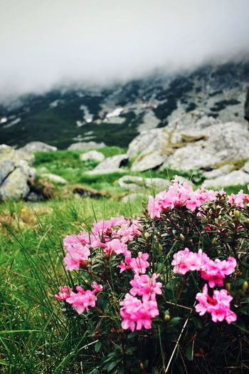 Loveformountains Romania Greatoutdoors Retezatnationalpark Retezat Rhododendron Flower Plant Flowering Plant Beauty In Nature Nature Pink Color Growth Inflorescence Tranquil Scene Outdoors Mountain Tranquility