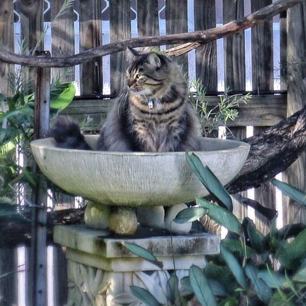 what is wrong with this picture? my cat is sitting in the bird bath and yes there is water in it! My Cat Oscar Strange Animal! Should Have Been A Fish My Fur Baby