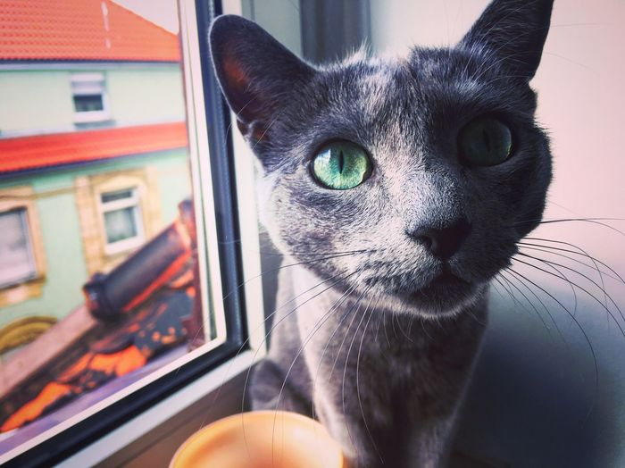 Green Eyes Anni RussianBlue Russianbluecat Cat Lovers Cat Close-up Babygirl 💚