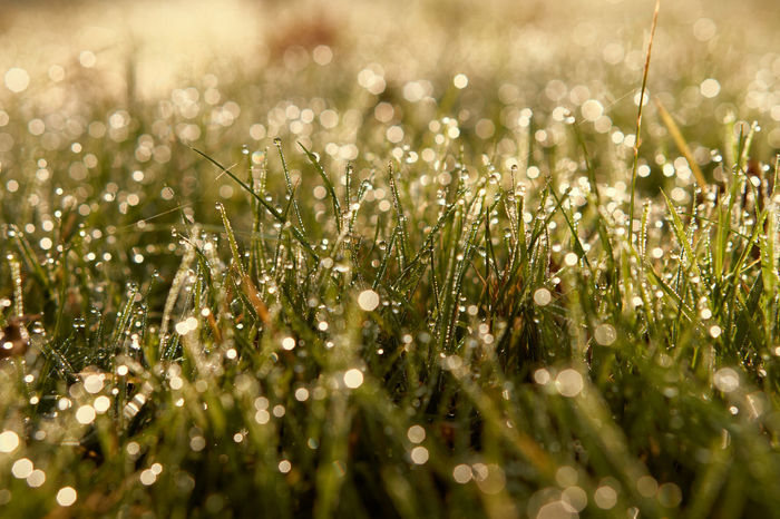 morning dew Close-up Meadow Morning Dew Grass Beauty In Nature Nature Growth Bokeh Bokeh Photography Sunrise My Year My View Depth Of Field Shootermag EyeEm Gallery Eye4photography  Tranquility Landscape EyeEm Best Shots - Nature Fine Art Photography Backgrounds Perspective Lucky's Memories Mood Photography A Moment Of Zen...