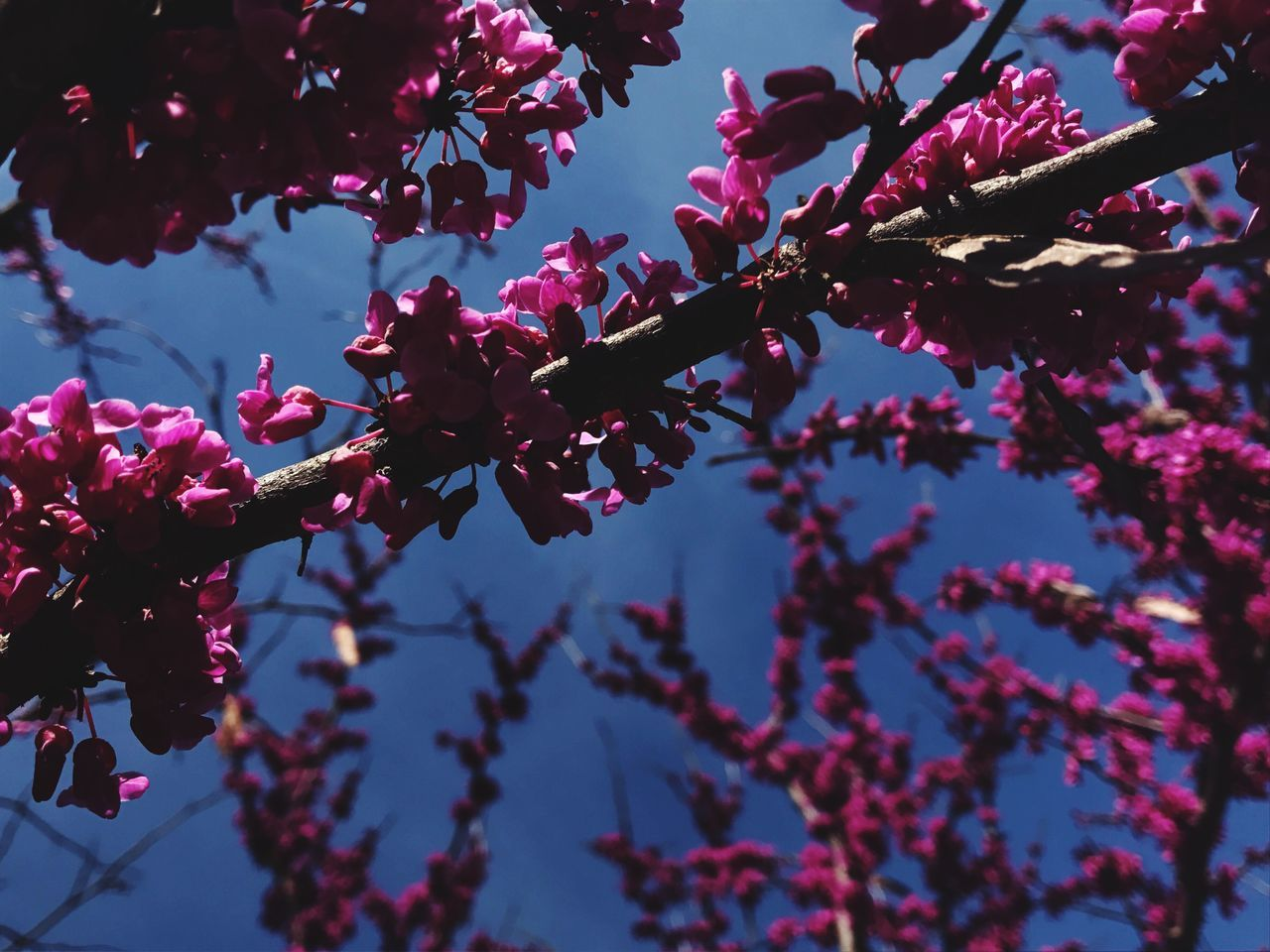 tree, growth, flower, beauty in nature, branch, nature, fragility, blossom, low angle view, springtime, freshness, botany, day, no people, petal, twig, outdoors, close-up, plum blossom, pink color, blooming, sky, flower head