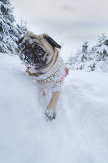 Dog pug dressed with a woollen pullover runs in the winter forest Big Eyes Christmas Motion Blur Nature Pug Run Winter Animal Clothings Clothing Cold Dog Dogs Pullover Fast Fir Trees Movement Outdoor Protection Against Cold Pullover Snow Snowy Snowy Scenery Warm Clothes Winter Forest Winter Sports Woollen Pullover
