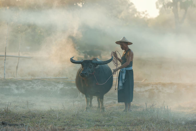 Asian farmer and buffalo in the countryside. Animal Animal Themes Animal Wildlife Cattle Day Domestic Domestic Animals Domestic Cattle Field Fog Grass Herbivorous Land Livestock Mammal Nature One Animal Outdoors Pets Plant Standing Vertebrate