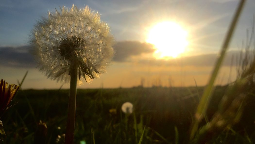 Beauty In Nature Close-up Dandelion Focus On Foreground Freshness Nature Sunset Tranquility