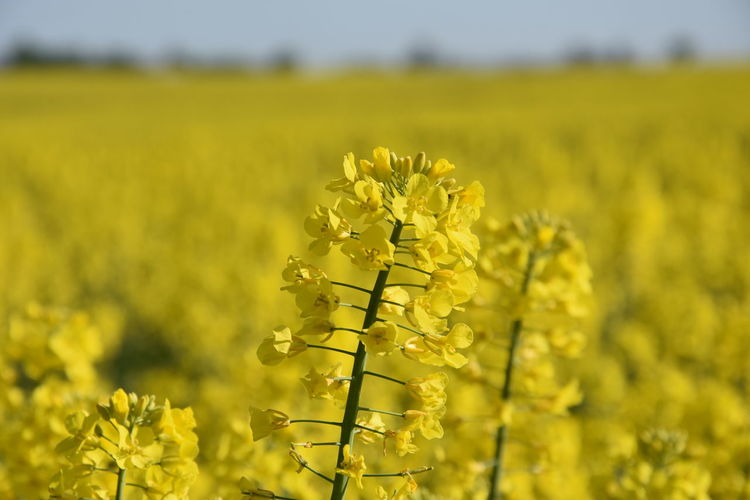 Close-up of fresh yellow flower field