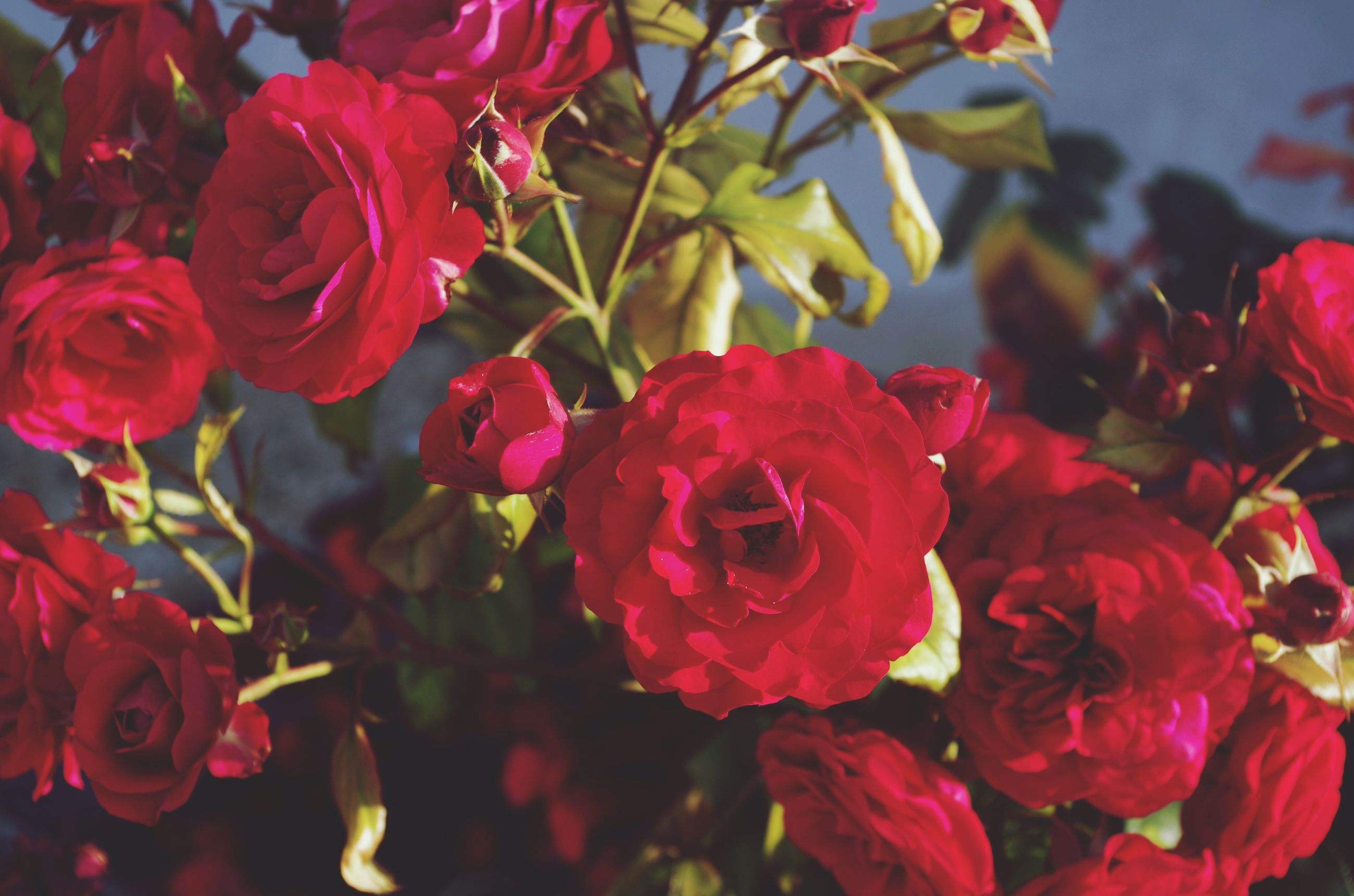 flower, petal, freshness, rose - flower, fragility, flower head, beauty in nature, red, growth, blooming, nature, close-up, plant, pink color, focus on foreground, in bloom, rose, leaf, park - man made space, day