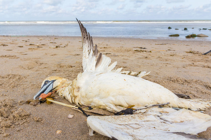 Netherlands The Hague Animal Wildlife Beach Bird Boobie Choke Dead Drown Fishing Gannet Litter Nature Net No People Northern Ocean Plastic Pollution Plastic Soup Sand Sea Starve Wildlife
