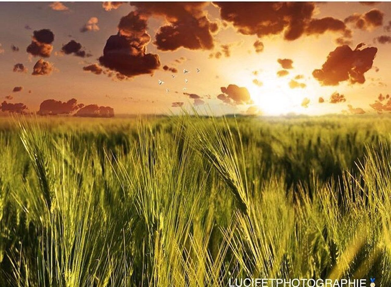 sunset, sun, nature, agriculture, grass, field, growth, cereal plant, rural scene, crop, sunlight, wheat, landscape, land, dramatic sky, environment, summer, scenics, sky, tranquil scene, outdoors, plant, gold colored, beauty in nature, horizon, no people, day
