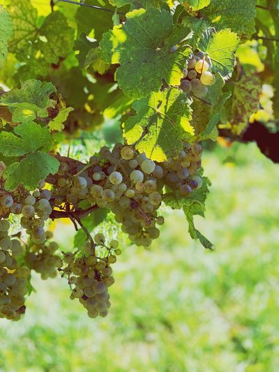 Winegrapes Winegrapes Wine Growth Leaf Green Color Nature Day Grape Healthy Eating Fruit No People Close-up First Eyeem Photo