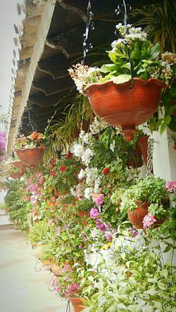 Patios De Córdoba Flower Plant