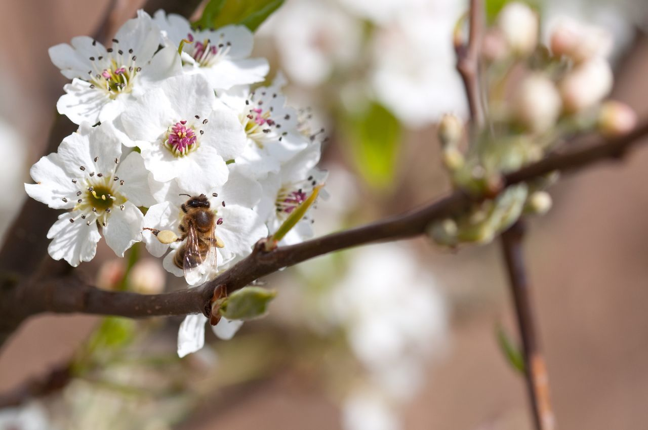 flower, fragility, nature, white color, beauty in nature, growth, freshness, twig, blossom, springtime, close-up, branch, no people, petal, day, tree, outdoors, flower head