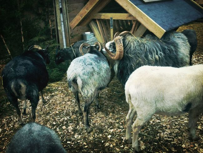 Found some new friends. Animals Goat Themepark Winther