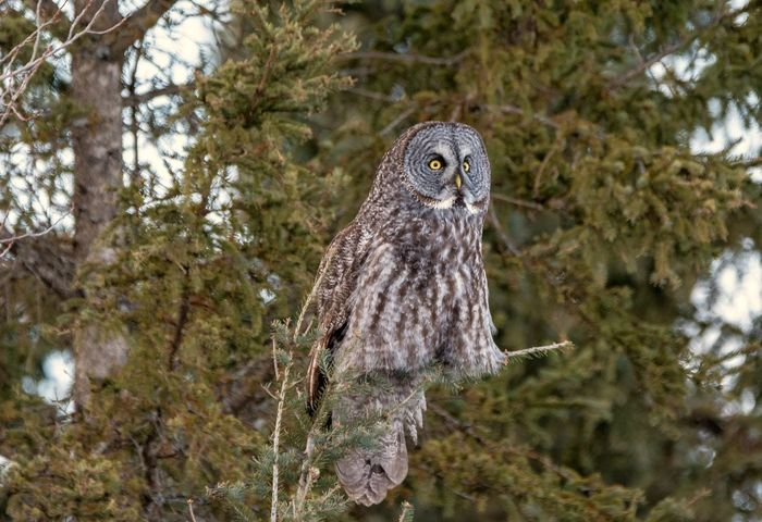 Look at those leggings on this Great Gray Owl Owls Birds Of EyeEm  Streamzoofamily Malephotographerofthemonth Animal Wildlife One Animal Bird Animals In The Wild Bird Of Prey Tree Owl Animal Themes Nature No People Perching Portrait Close-up Outdoors