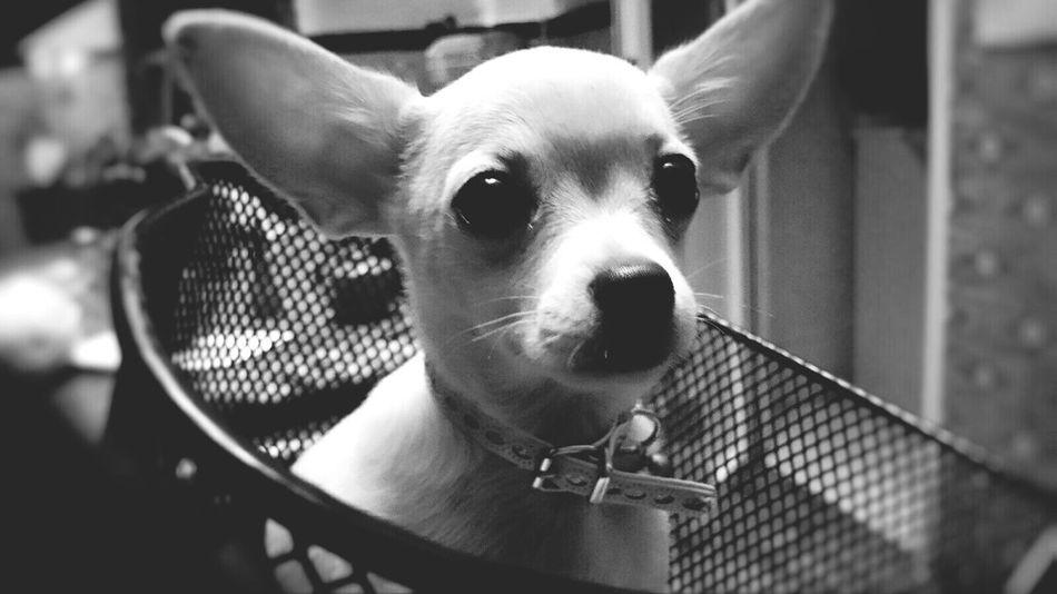 B&W Portrait Dog Love Animal Portrait Black And White Black & White Monochrome Bicycle Chihuahua