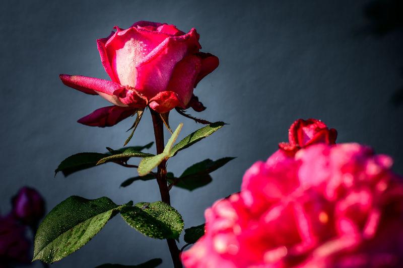 Macro Rosé
