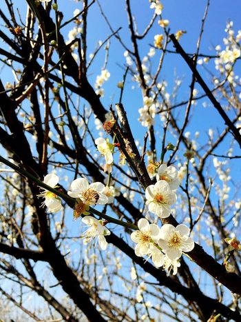 Growth Nature Beauty In Nature Flower Low Angle View Branch Springtime White Color Tree Freshness Fragility Blossom Outdoors Sunlight No People Day Twig Flower Head Sky