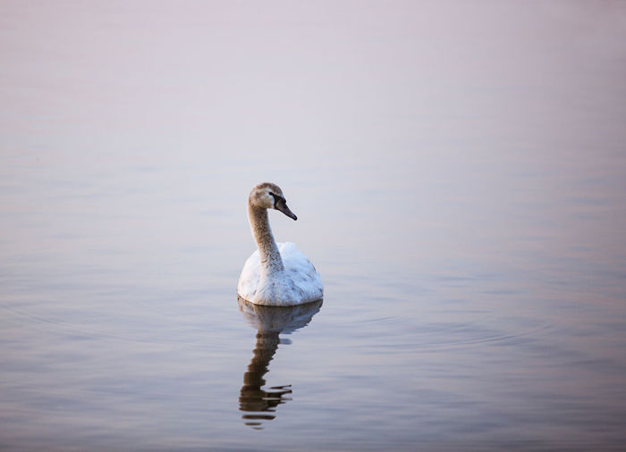 Wild Goose in the lake in twilight time. Animal Animal Neck Animal Themes Animal Wildlife Animals In The Wild Beauty In Nature Bird Day Goose Lake Nature No People One Animal Outdoors Reflection Swimming Vertebrate Water Water Bird Waterfront