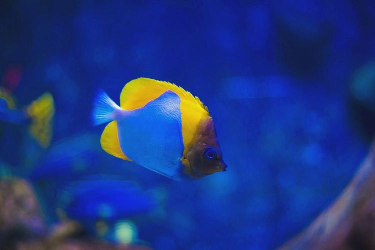 Pyramidbutterfly Pyramidbutterflyfish Tropical Fish Tropical Paradise Yellow Fish Aquarium Marine Life Waterlife