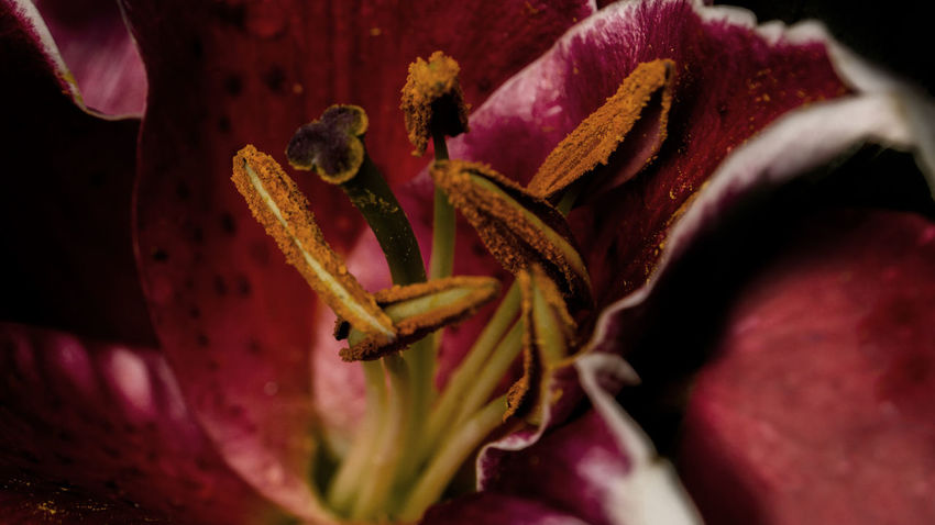 Source of Regeneration Lily Macro Photography Nature Nature Photography Beauty In Nature Bloom Blooming Flower Blossom Close Up Close-up Day Flower Flower Head Fragility Freshness Growth Macro Nature No People Outdoors Petal Pistil Plant