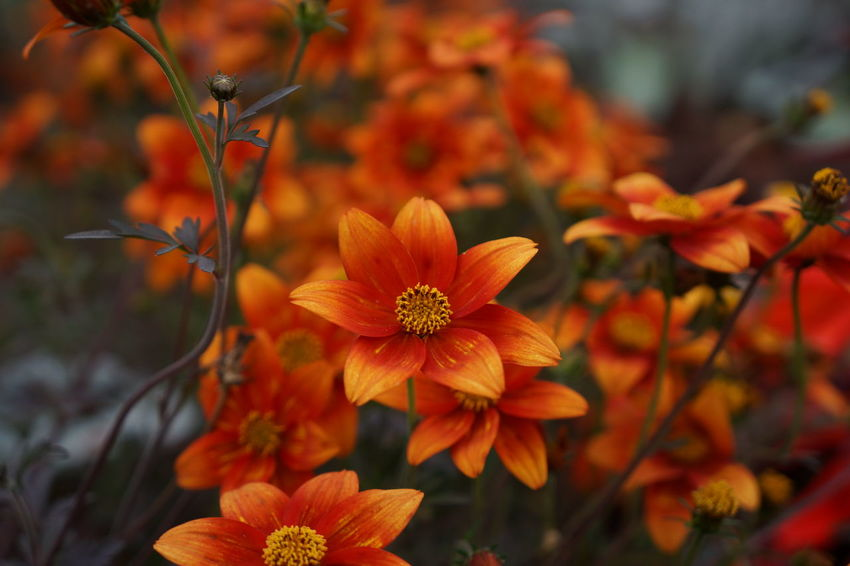 Orange Flower Beauty In Nature Blooming Close-up Cosmos Flower Day Flower Flower Head Focus On Foreground Fragility Freshness Growth Nature No People Orange Color Outdoors Petal Plant
