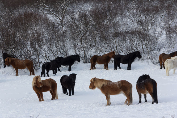 Horses on snow covered field