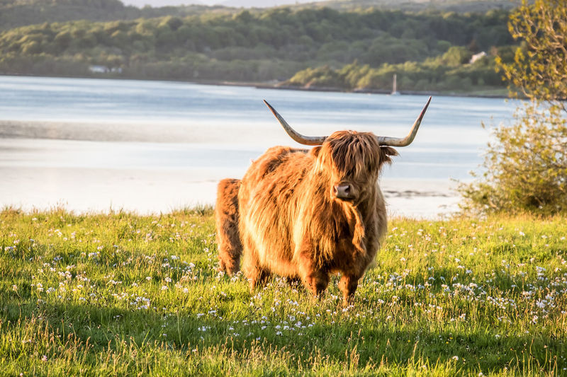 Swarm of midges attacking highland cows during sunset Argyll And Bute Farm Field Grazing Highland Loch  Ranch Scotland Scotland 💕 Scottish United Kingdom Biting Cattle Coast Flies Horse Insects  Midge Midges Ocean Sky Sunset Swarm Uk West
