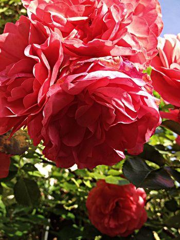Rose Nature Flowers Rosen Blüten