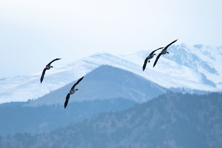 Colorado Boulder Nature Cold Temperature Snow Winter Mountain Animals In The Wild Sky Beauty In Nature Animal Animal Wildlife Animal Themes No People Day Flying Focus On Foreground Scenics - Nature Tranquility Group Of Animals Mid-air Mountain Range Outdoors Snowcapped Mountain