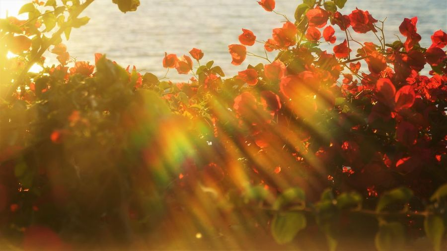 Bougainvillea Back Lit Lens Flare Copy Space Golden Hour Dreamy Vacation Plant Growth Beauty In Nature Flower Flowering Plant Freshness Nature No People Sunlight Vulnerability  Fragility Selective Focus Day Red Outdoors Petal Tranquility Orange Color Plant Part Flower Head Bougainvillea Red Color Red Rainbow