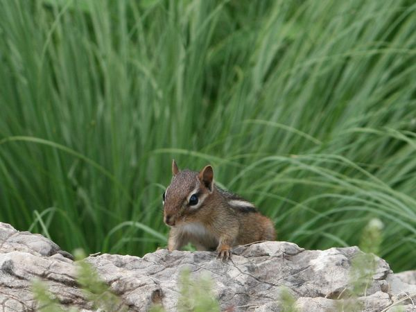 Animal Themes Animal Wildlife Animals In The Wild Chipmunk Chipmunk Photography Climbing Chipmunk Day Grass Grasses Mammal Nature No Filter No Edit No People One Animal Outdoors Rock Rock - Object