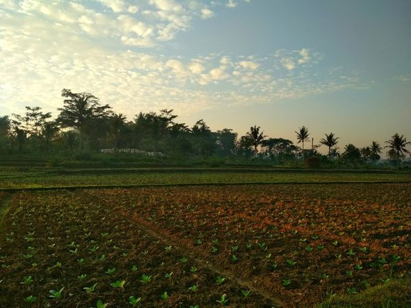 Sawah Plant Environment Landscape Land Field Rural Scene Sky Agriculture Growth Beauty In Nature Tree Nature Farm Crop  Food And Drink Scenics - Nature Tranquility No People Cloud - Sky Food Botany Multi Colored Grass Agriculture Land