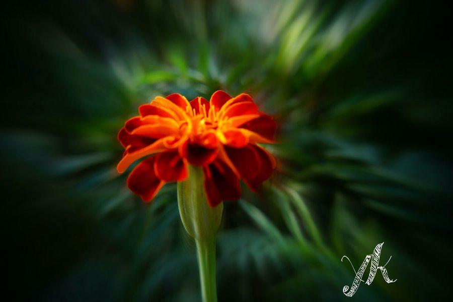 Fall Beauty Beautifel Merigold Merigold Flowers Color Portrait
