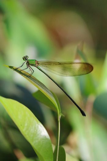 Dragon fly Damselfly Insect Leaf Close-up Animal Themes Plant Green Color Dragonfly Blade Of Grass