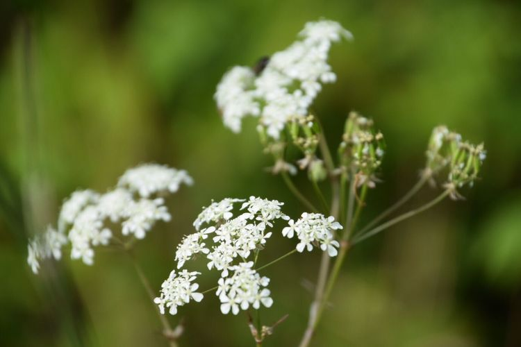 Cow Parsley My Favourite Weed Flower Nature Growth Plant Beauty In Nature Focus On Foreground No People Blooming Fragility Outdoors Day Close-up Flower Head Freshness No Filter, No Edit, Just Photography