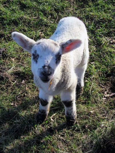 Friendly lamb