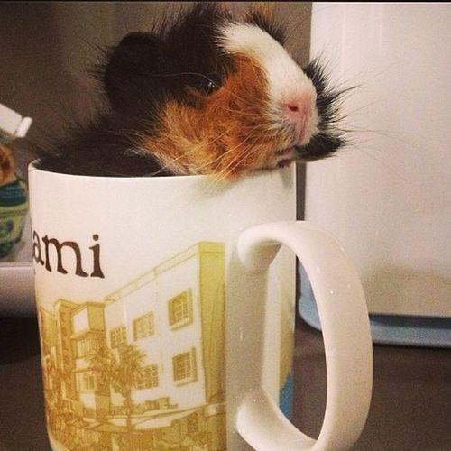 Quiero otro cobayito en mi vida ?? Cobayo Cute Pets Mascota
