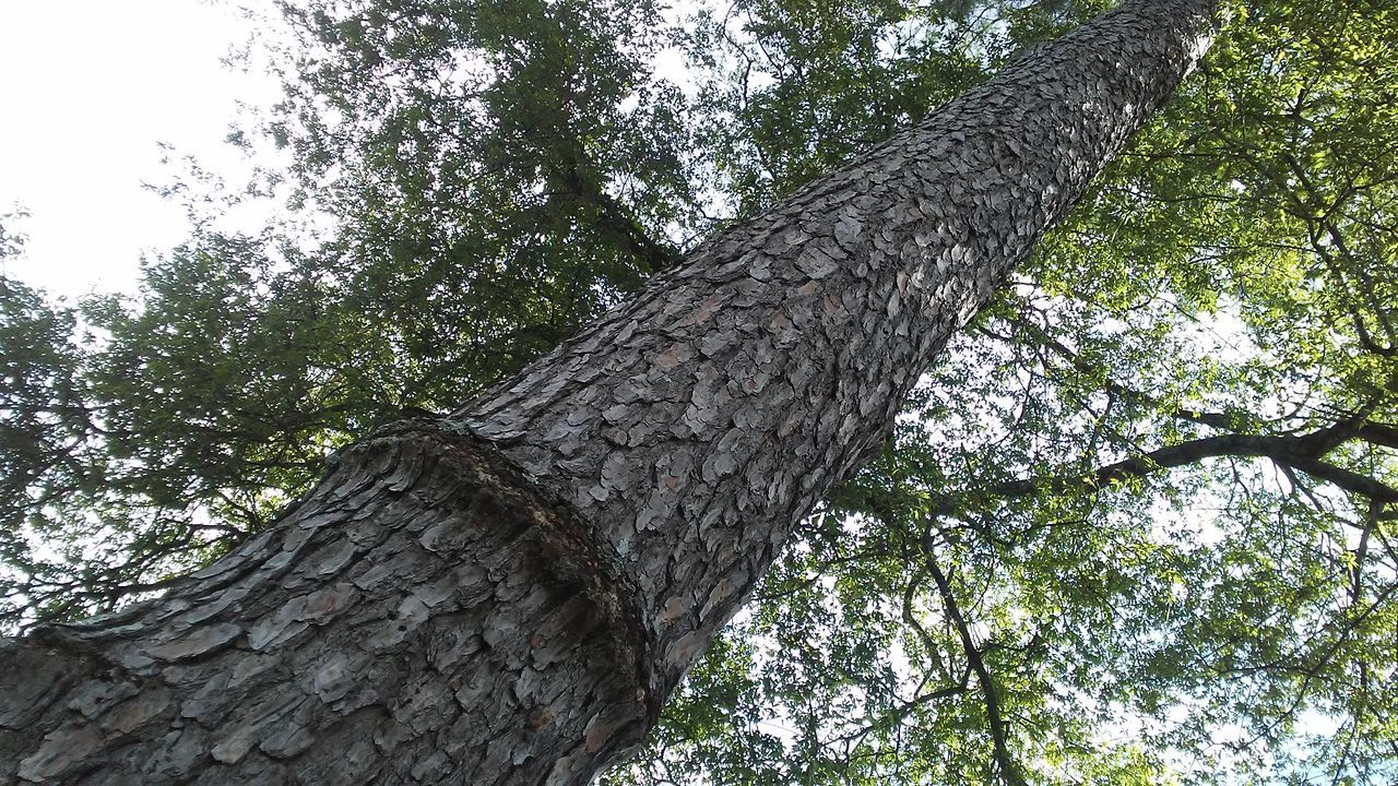 tree, tree trunk, low angle view, growth, branch, bark, nature, day, rough, outdoors, textured, no people, beauty in nature, woodpecker, sky, close-up