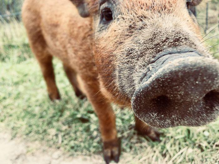 Boar One Animal